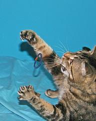 Cats like hair ties