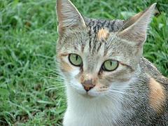 Calico Cat Picture