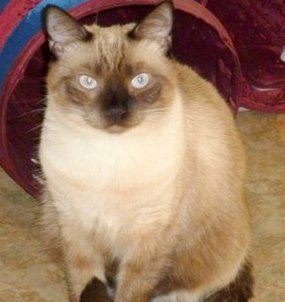 healthy siamese cat