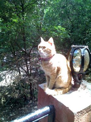 Mixbreed Cat Champu