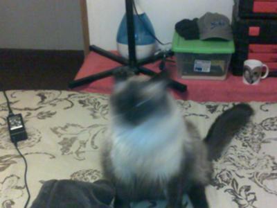 Jinkser cat