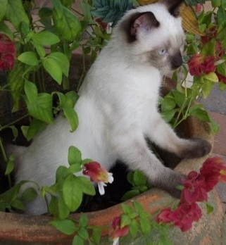 Siamese cat in the flower pot