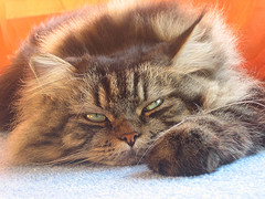 Main Coon Cat image added