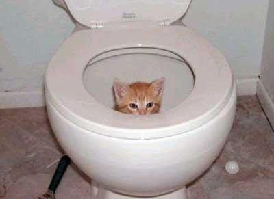 Kitten in the toilet