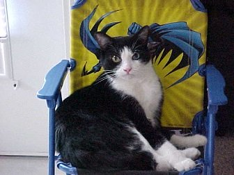 Thomas the cat in batman chair