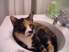 Calico Cat chews tails