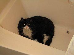 Tuxedo Cat in Tub