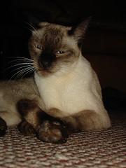 Siamese cat image