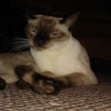 Male Siamese Breed