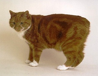 Orange Manx Cat
