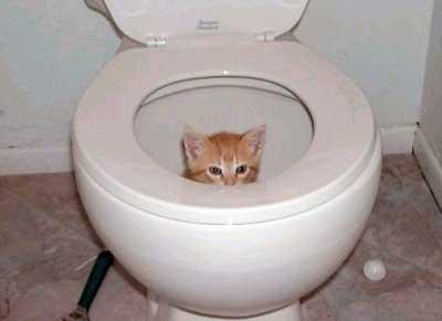 Toilet Kitten