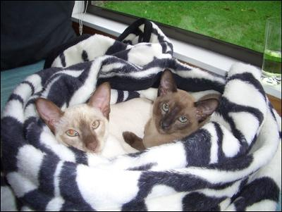 Tonkinese Cats Jasmine & Coco