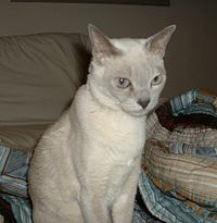 Tonkinese Show Cat