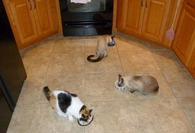 My Cats Eating home cooked chicken