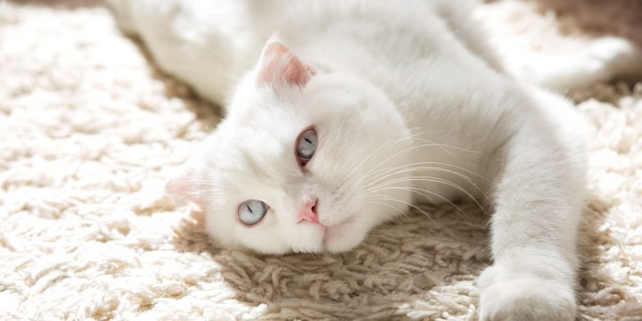 5 Ways to Get Cat Hair Out of Your Carpet