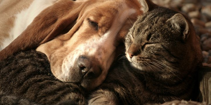 5 Cat Friendly Dog Breeds for Existing Cat Owners