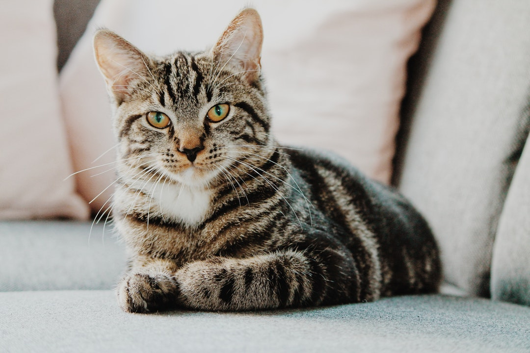 CBD Oil for Cats? How CBD Effects Both Dogs and Cats Differently