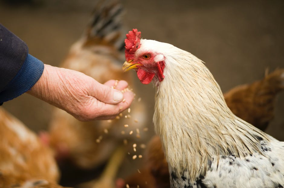Chicks on Deck: Your Complete Guide to the Best Chicken Feed