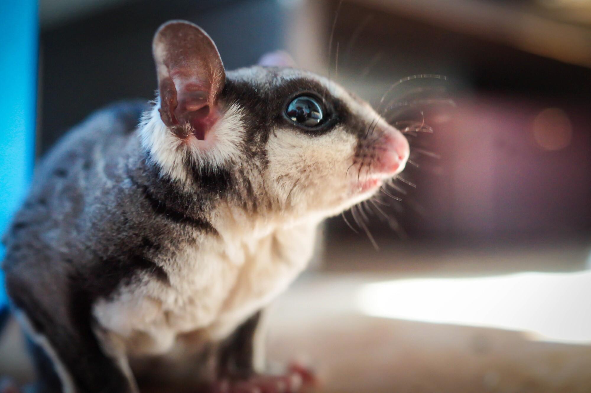 5 Reasons a Sugar Glider Makes the Perfect Pet